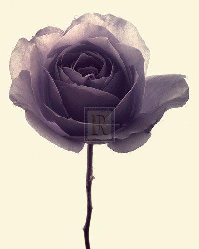 Transparent Rose I by Katja Marzahn