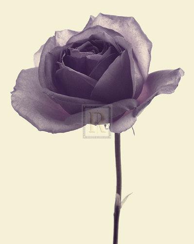 Transparent Rose II by Katja Marzahn