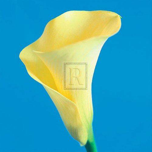 Lily Bloom VI by Bill Philip