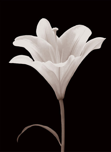 Moonlit Lily by Ryuichi Okano