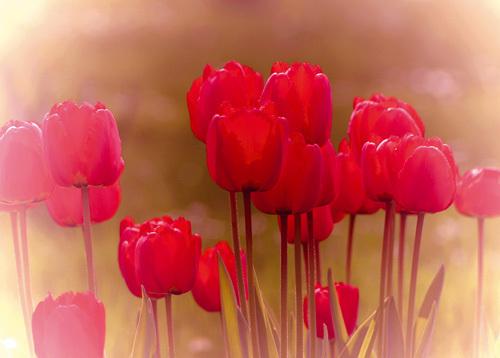 Tulip Haze by Katja Marzahn