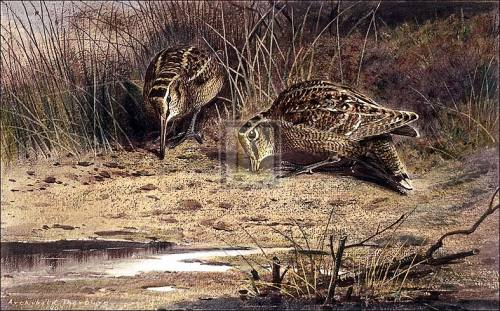 Hungry Woodcock by Archibald Thorburn