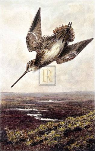 Drumming Snipe by Archibald Thorburn