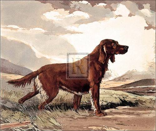 Irish Setter by Ward Binks