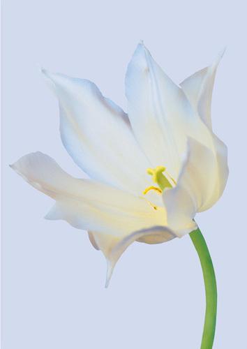 Serene Tulip by Masao Ota
