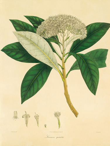 Unpublished East Indian Plants V by Nathaniel Wallich