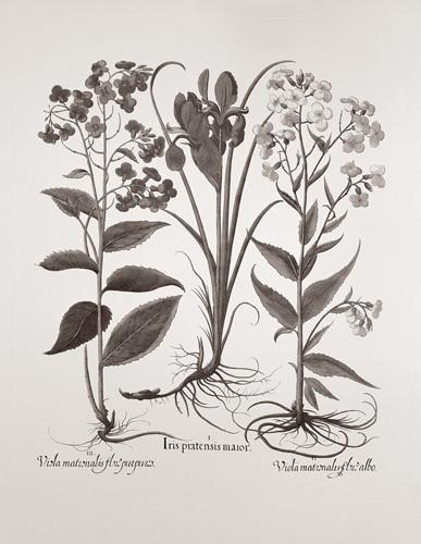 Botanical V by Basilius Besler
