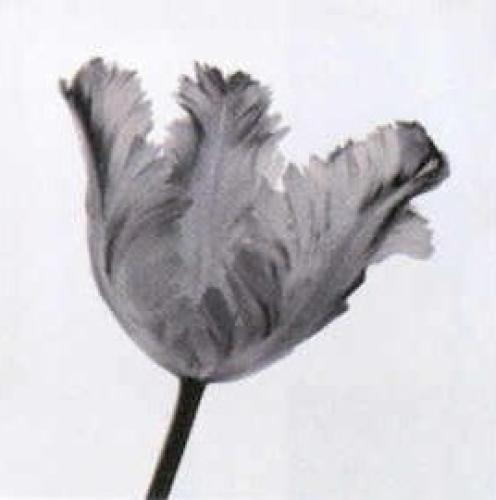 Parrot Tulip I by Tom Artin