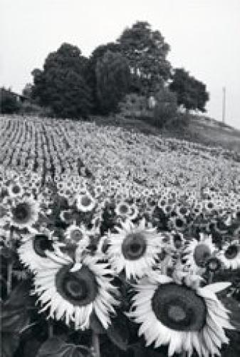 Sunflowers, France by Martine Franck