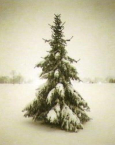 Winter Spruce by Bill Schwab