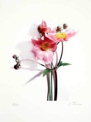 Anemone by Gerhard Treichel
