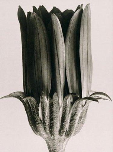 Ringelblume by Karl Blossfeldt