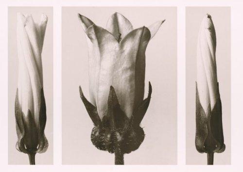 Weisse Zaunwinde und Glockenblume by Karl Blossfeldt