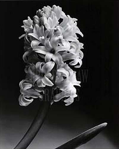 Hyacinth by Len Prince