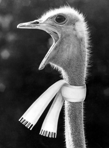 Ostrich wearing a scarf by Walter Sittig