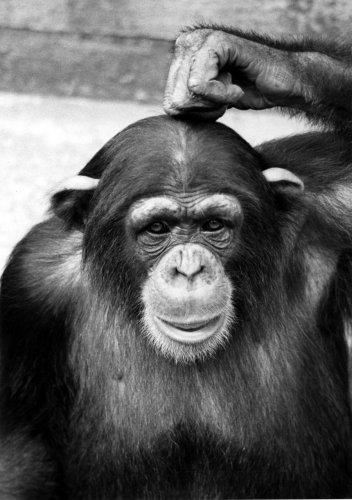 Chimp scratching its head by Walter Sittig