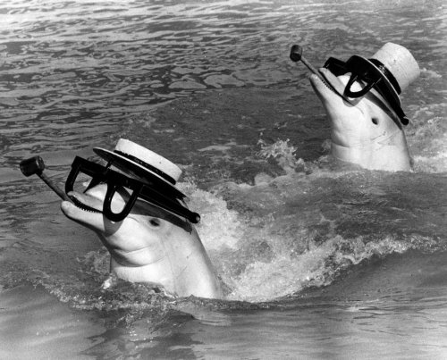 Dolphins with glasses and hats by John Drysdale