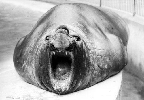 Elephant seal yawning by Walter Sittig