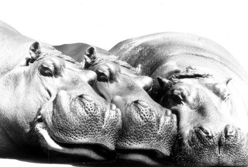 Three hippos sleeping in a row by Walter Sittig