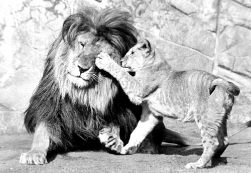 Young lion playing with father by Walter Sittig
