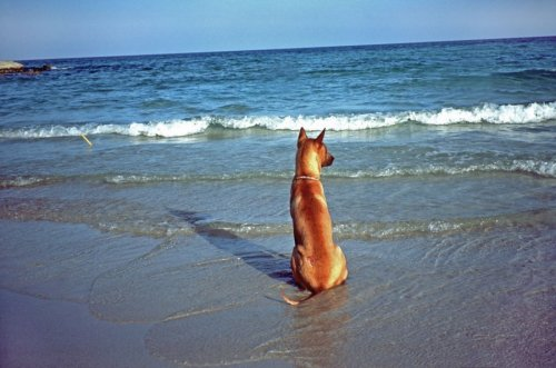 Dog watching waves on a beach by Heinz Krimmer