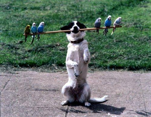 Dog balancing budgies on a stick by John Drysdale