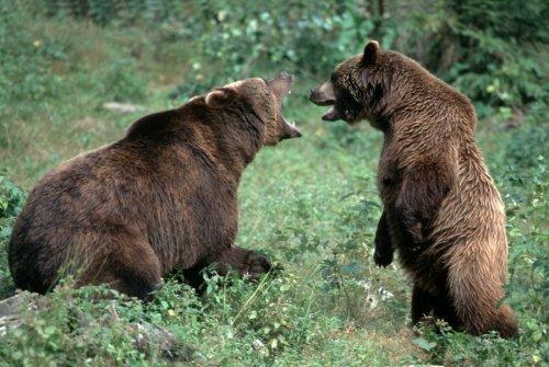 Brown bears fighting by Berndt Fischer