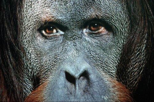 Close-up of an orangutan by Roland Marske