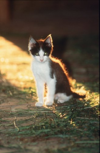 Kitten sitting in late afternoon sunlight by Gerd Pfeiffer