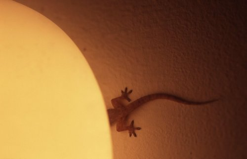 Gecko by Rosseforp