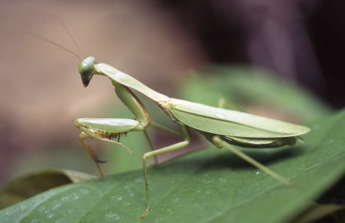 Praying mantis by Rosseforp