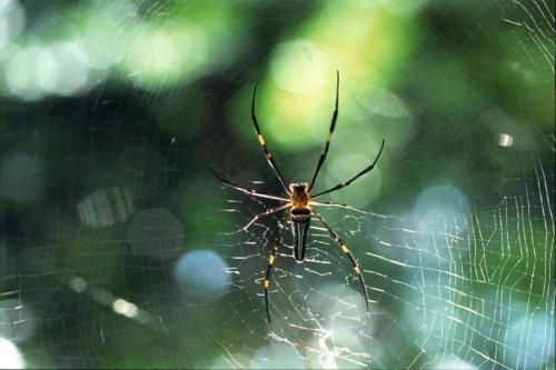 Spider on its web, Thailand by Heinz Krimmer