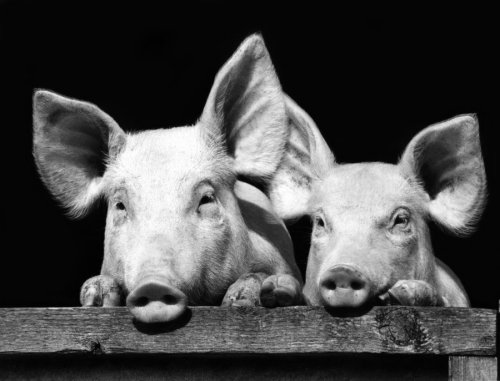 Two pigs by Walter Sittig