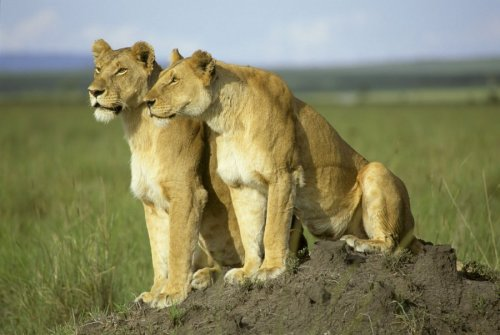Two lions by Koch & Wolf