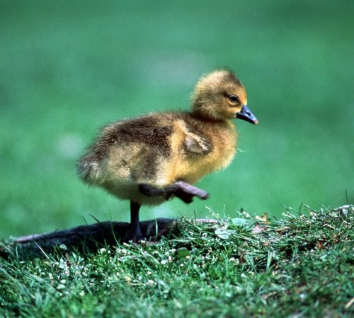 Duckling by Koch & Wolf