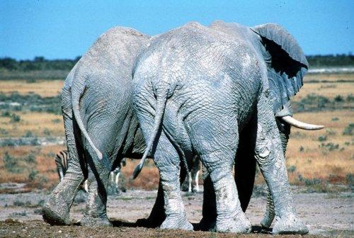 Two elephants in mud by Koch & Wolf