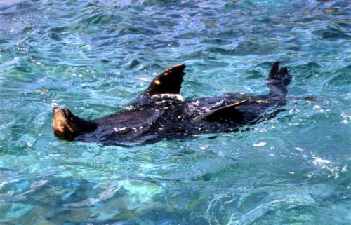 Seal floating on his back by Koch & Wolf