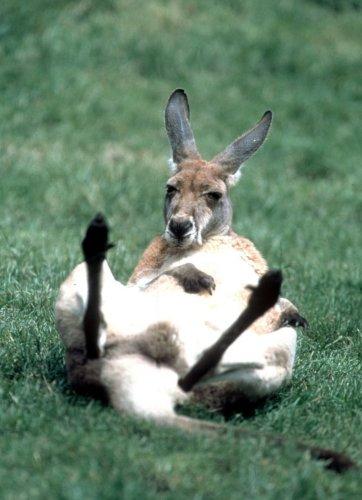 Kangaroo lying on its back by Regina Usher