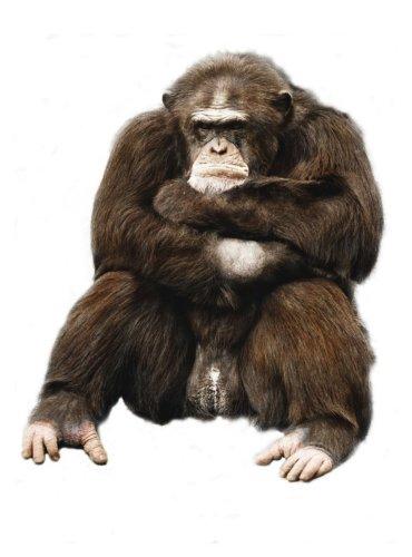 Grumpy gorilla by Walter Sittig