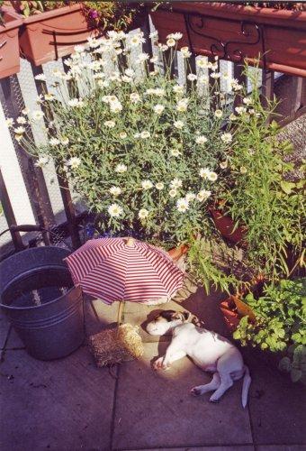 Jack Russell sunbathing by Heinz Krimmer