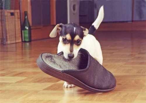 Jack Russell fetching a slipper by Heinz Krimmer