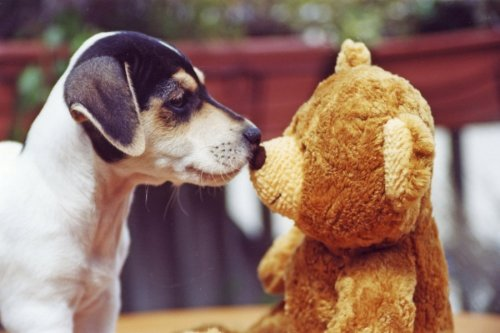 Jack Russell kissing his teddy by Heinz Krimmer