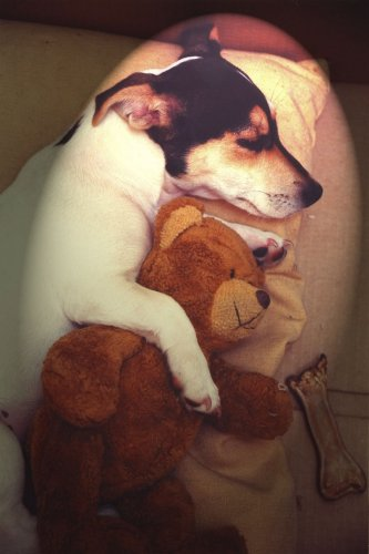 Jack Russell asleep with teddy by Heinz Krimmer