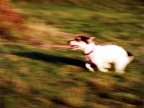 Running puppy by Heinz Krimmer