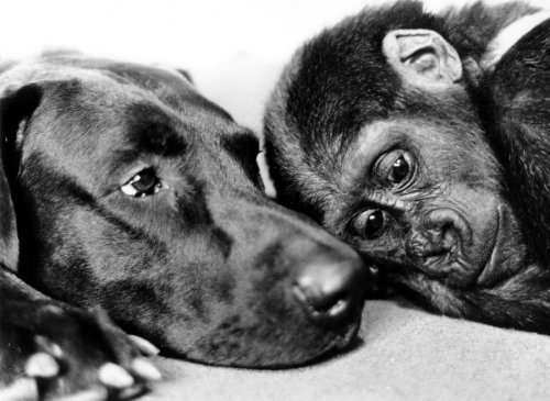 Dog and chimp take a nap by John Drysdale