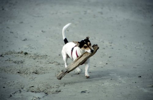 Jack Russell playing I by Heinz Krimmer