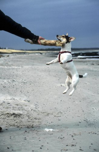 Jack Russell playing II by Heinz Krimmer