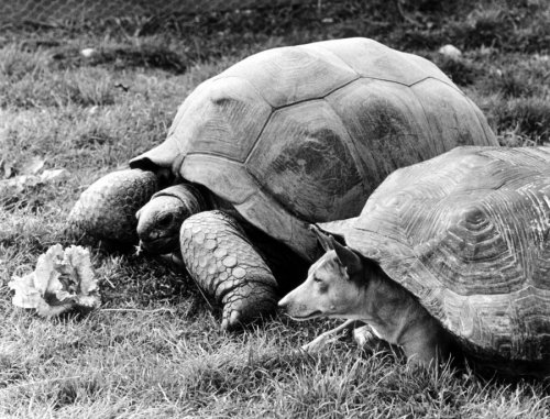 Real tortoise with fake tortoise by John Drysdale