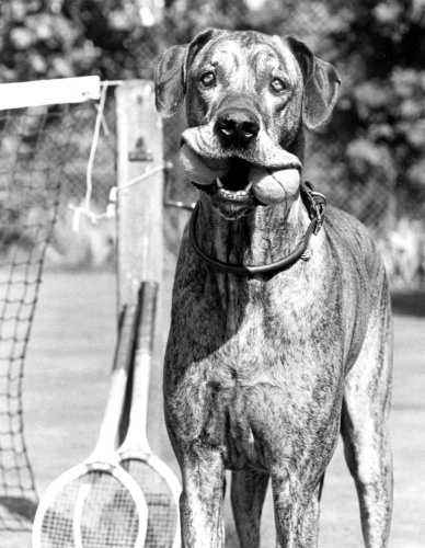 Dog carrying tennis balls by John Drysdale
