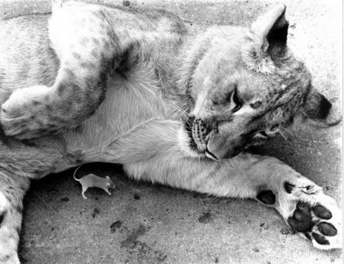 Lioness playing with a mouse by John Drysdale